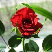 Розы Вино