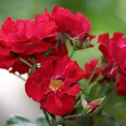 Розы Майнафьер
