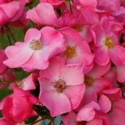 Розы Фортуна
