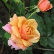 Розы Штадт Хокенхеим