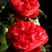 Розы Травиата