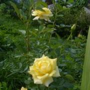 Розы Голдстерн