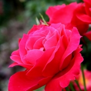 Розы Рубинхен