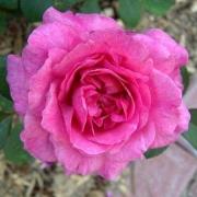 Розы Ноубл Энтони