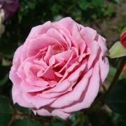 Розы Жохим ду Белэй