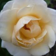 Розы Десерт Айлэнд