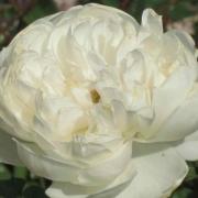 Розы Глэмис Кэстл