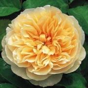 Розы Чарити
