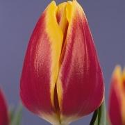 Тюльпаны Долли Дотс