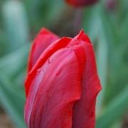 Тюльпаны Колеур Кардинал