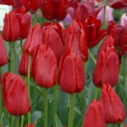 Тюльпаны Кассини