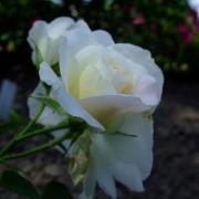Розы Прери Сноудрифт