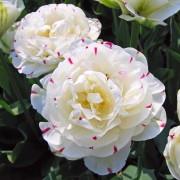 Тюльпаны Дэнс Лайн