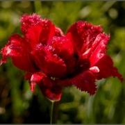 Тюльпаны Дэй Стар