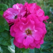 Розы Джон Кабот