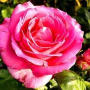 Розы Эсмеральда