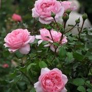 Розы Хом энд Гарден