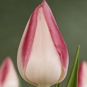 Тюльпаны Дрим Шоу