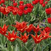 Тюльпаны Алладин