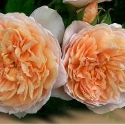 Розы Джейн Остин