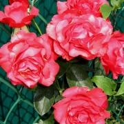 Розы Диззи Хайтс