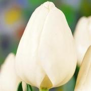 Тюльпаны Тибет