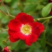 Розы Руж Меилландекор