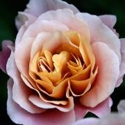 Розы Дистант Драмс