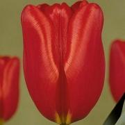 Тюльпаны Генри Дунант