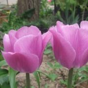 Тюльпаны Каравелла