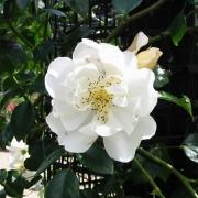 Розы Сити оф Йорк