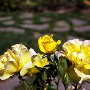 Розы Роуз де Лимо