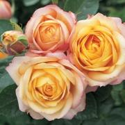 Розы Беби Романтика