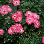 Розы Три Чирс