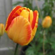 Тюльпаны Сильверстрим
