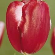 Тюльпаны Бродвей