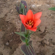 Тюльпаны Корал Сатин