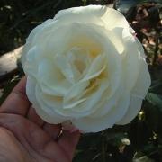 Розы Ла Палома 85