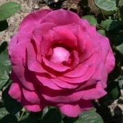 Розы Жорианда