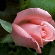 Розы Филинг