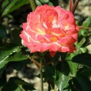 Розы Зебулон