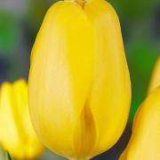 Тюльпаны Мунволкер