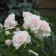 Розы Морден Блаш