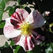 Розы Еколе де Барбизон
