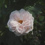 Розы Лохинвар