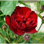 Розы Лилли Марлин
