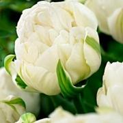 Тюльпаны Айс Эйдж