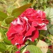 Розы Дип Импрешн