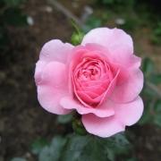 Розы Дебора