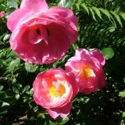 Розы Делиа